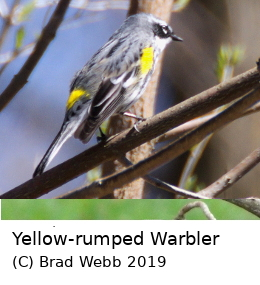 (Photo of Yellow-rumped Warbler ...)
